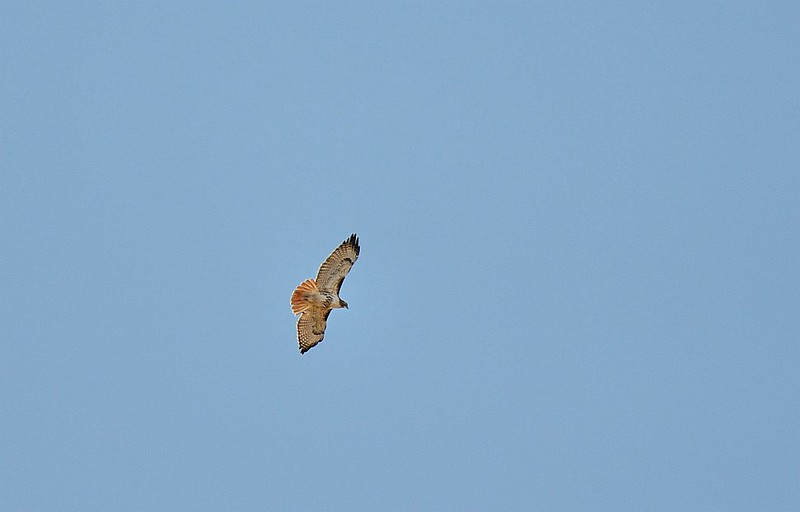 Hawk (Red tailed)
