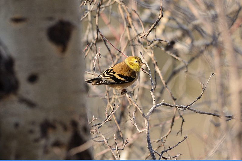 Finch (Goldfinch)