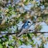 Swallow (Tree Swallow)