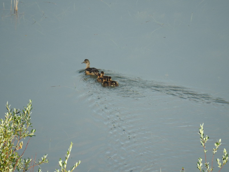 American Widgeon w ducklings
