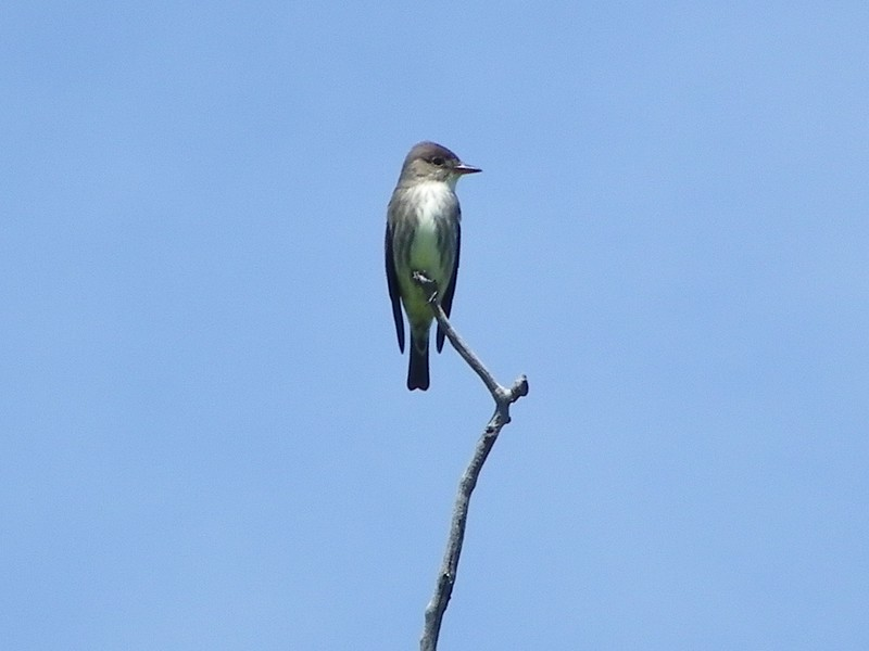 Flycatcher (Olive Sided Flycatcher)