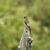 Flycatcher (Olive Sided Flycatcher) Juvenile