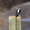 Woodpecker (hairy) Male