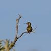 Hummingbird (Calliope Hummingbird)