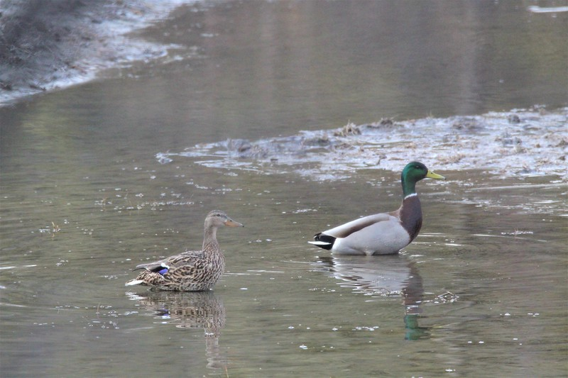 Mallard male and female