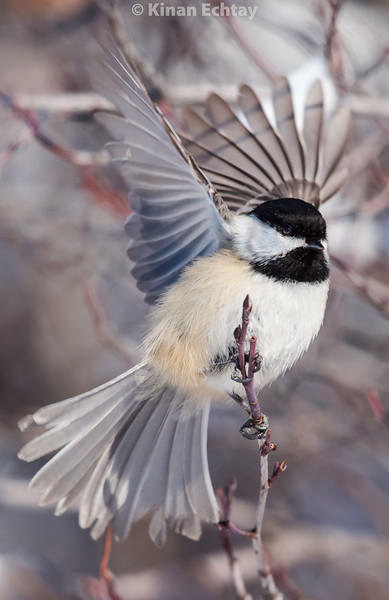 Chickadee (Black Capped)