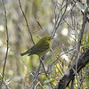 Warbler (Tennessee Warbler) Juvenile