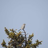 Shrike (northern)