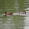 Teal (Cinnamon Teal )and( Blue Winged Teal)