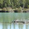 Mergenser (Common Merganser) Hen w Juveniles