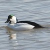 Bufflehead (common) Goldeneye Hybrid