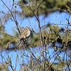 Sparrow (Clay Colored)