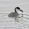 Grebe (Western) with lunch (fish)