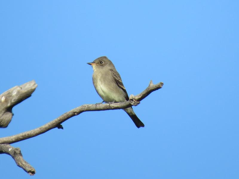 Flycatcher (Least Flycatcher)