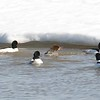 Mergansers (common) Surrounding female