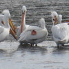 Pelican (American White Pelican)