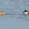 Shovelers (northern)  Male and Female