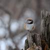 Chickadee (boreal)