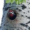 Woodpecker (Yellow bellied Sapsucker) (male)