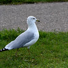 Gull (Ring Billed)