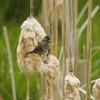 Sparrow (Lincoln's Sparrow)