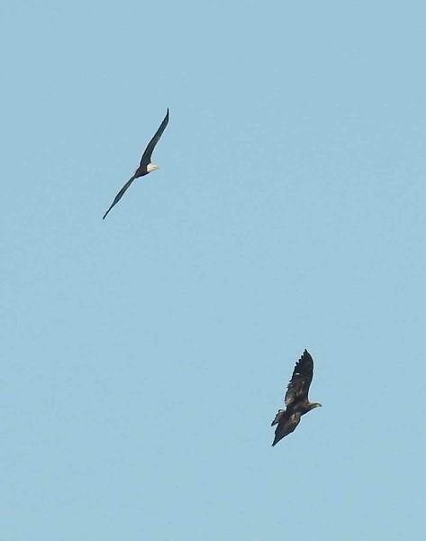 Eagle (Bald) Parent and juvenile