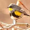 Yellow rumped Warbler Audubon