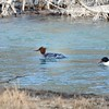 Merganser (Commom)