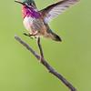 Hummingbird (Calliope)