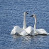 Swans (Trumpeter Swans)  Mating Ritual