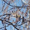 Siskin (pine Siskin) foraging