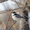 Chickadee (Black Capped Chickadee)