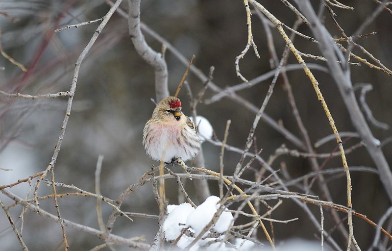 Redpoll (Common Redpoll)