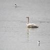 Swans (Trumpeter Swan)(juvenile)