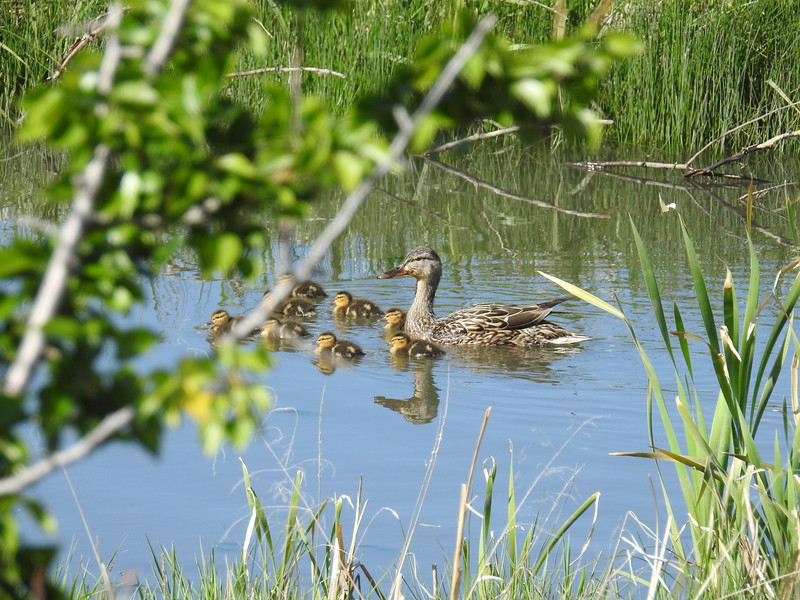 Mallard Ducklings and Hen