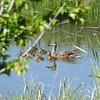 Mallard Ducklings and Hen