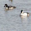 Golden Eye (Barrow) and Bufflehead (common) Hybrid