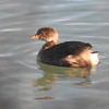 Grebe (pied-billed)  Juvenile