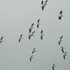 Pelicans (White Pelicans)