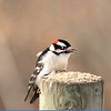 Woodpecker (Downy Woodpecker)