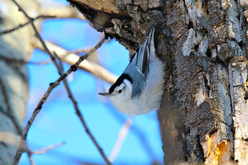 Nuthatch (White Breasted)