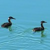 Red Necked Grebe pair