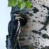 Woodpecker (Yellow bellied Sapsucker)  (female)