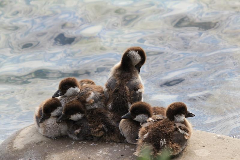 Goldeneye Ducklings