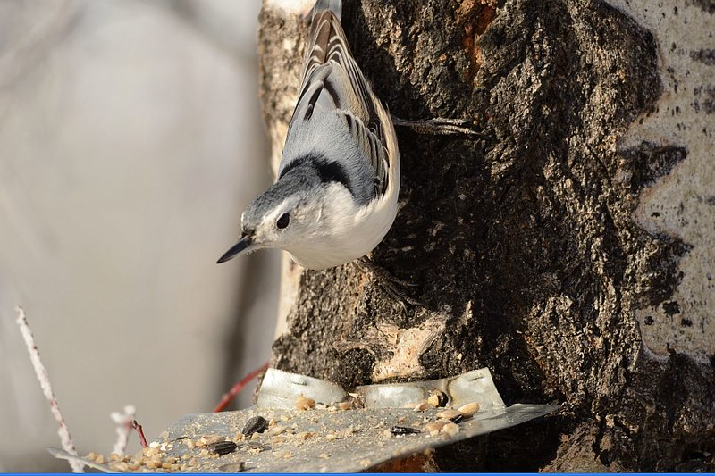 Nuthatch (White Breasted Nuthatch)