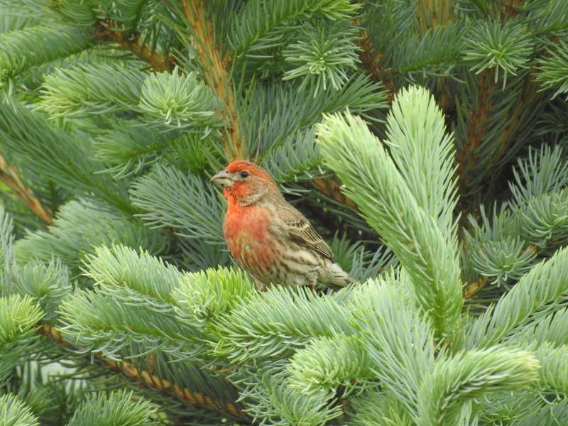 Finch (House Finch) Male