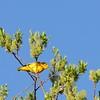 Warbler (Yellow)