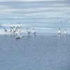 Swans (Trumpeter Swans) (13)