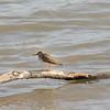 Sandpiper (Spotted Sandpiper)