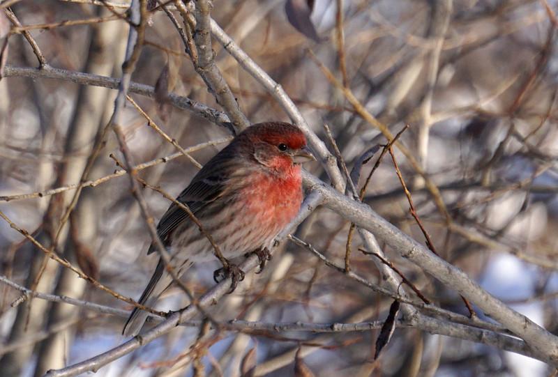 Finch (House Finch)